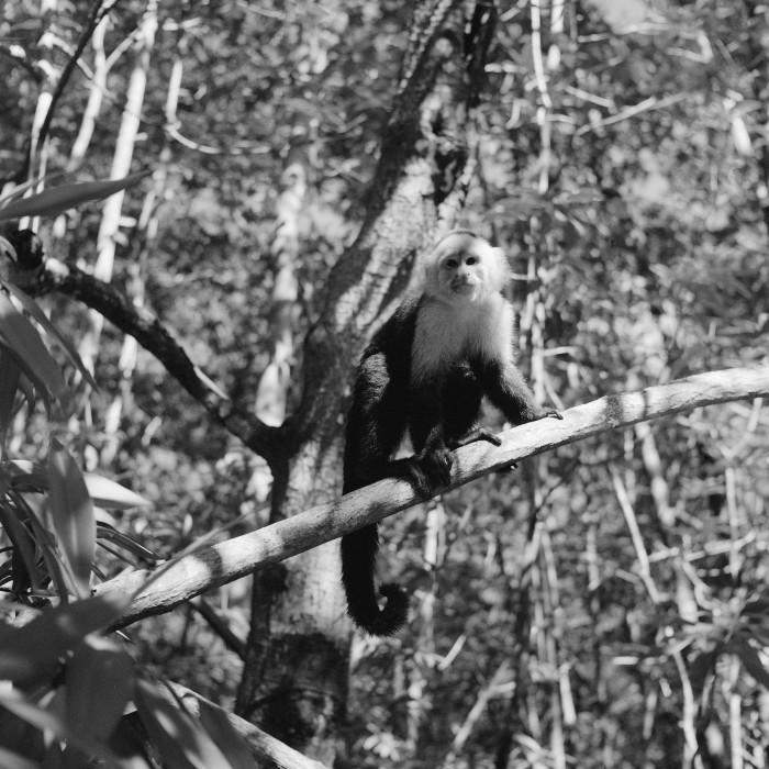 damas monkey